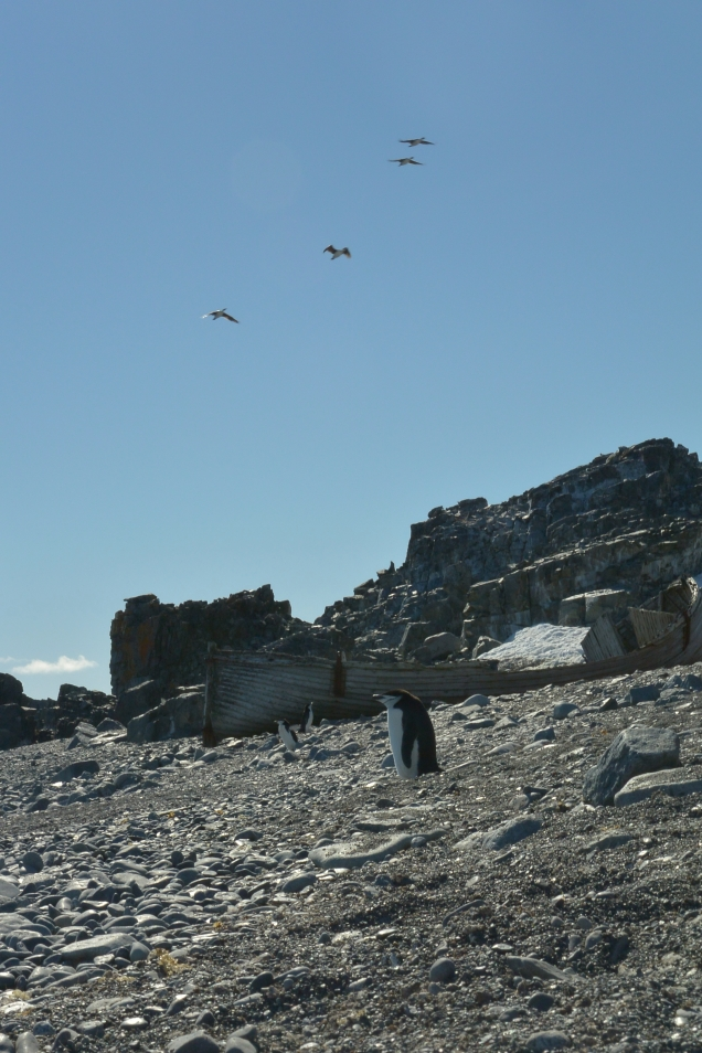 penguins and birds with shipwreck.jpg