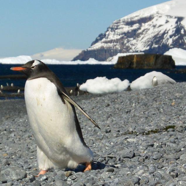 "They call me ""Sir Penguin"". *mic drop*"