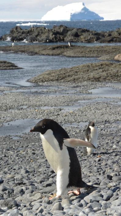 WHAT?! It's like you've never seen a penguin walking around on a beach before. Geez, get that camera out of my face!